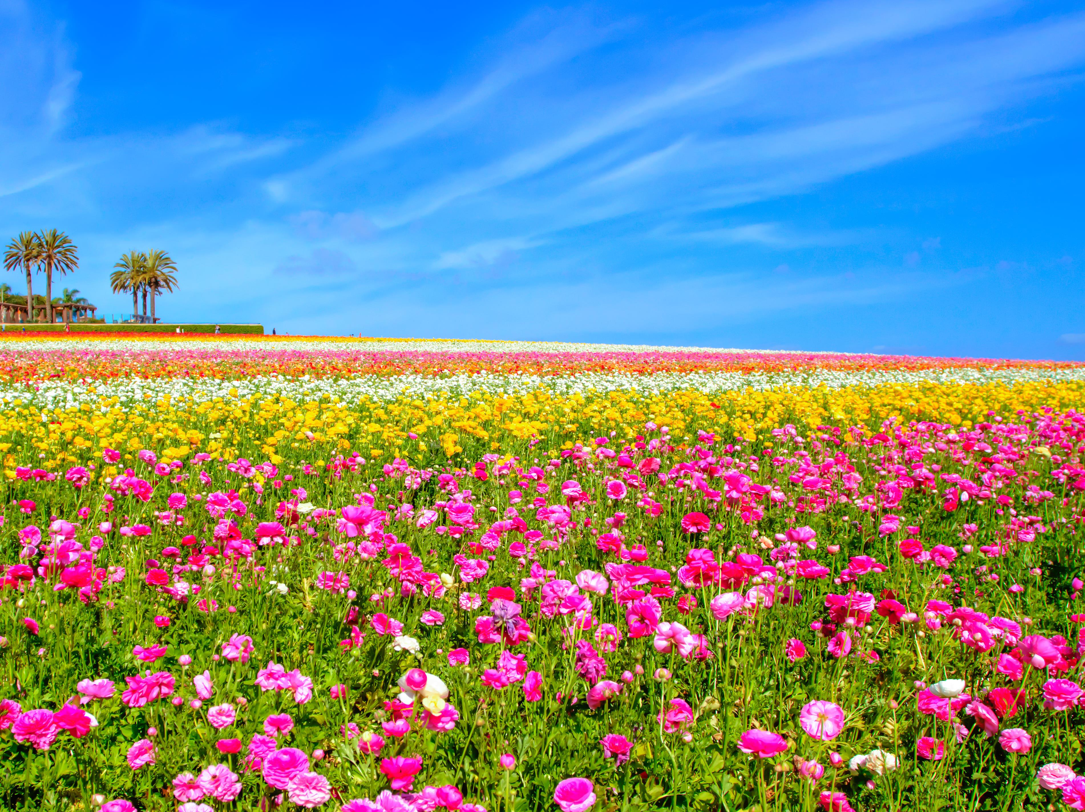 San Diego S Spring Flower Fields Displays Festivals