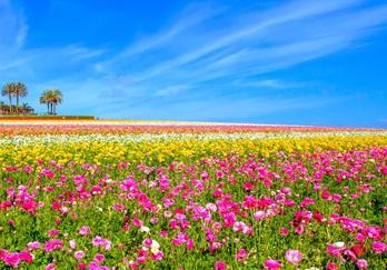 San Diego S Spring Flower Fields Displays Festivals