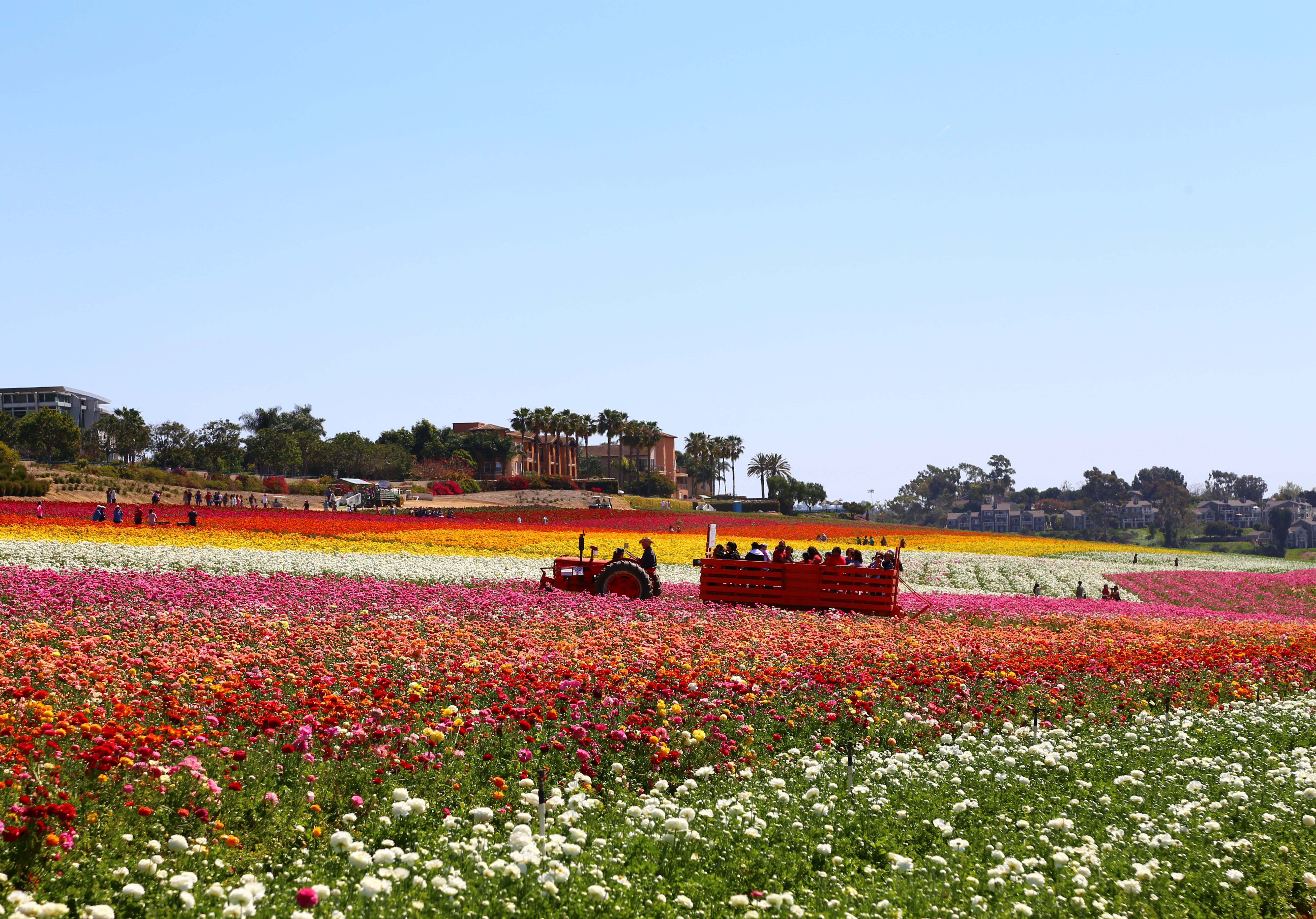 14. The Flower Fields Of Carlsbad California