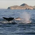 23 whales Off Coronado Islands Jan. 21, 2013