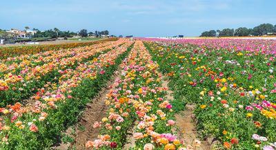 Flower Fields at Carlasbad Ranch