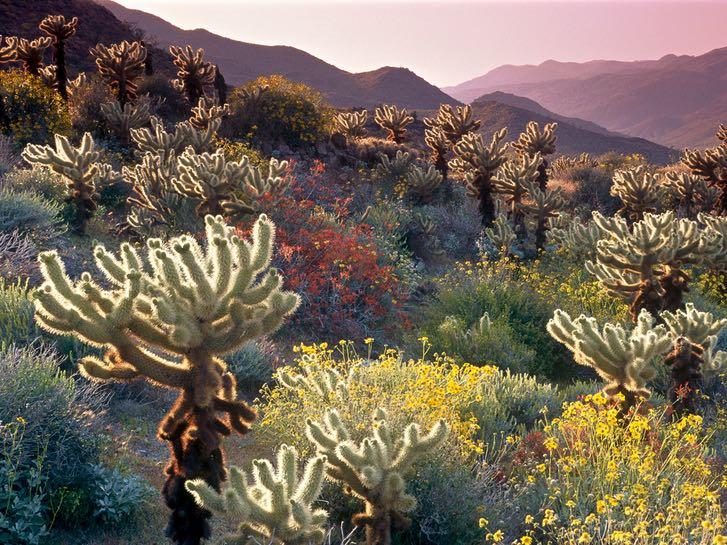 Wildflowers at Anza Borrego Desert State Park