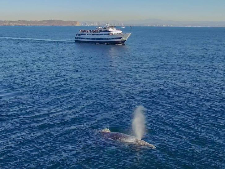 Gray whale migrating past a Hornblower Cruise