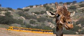 Giraffe at San Diego Zoo Safari Park