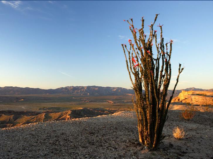 Anza Borrego Cactus