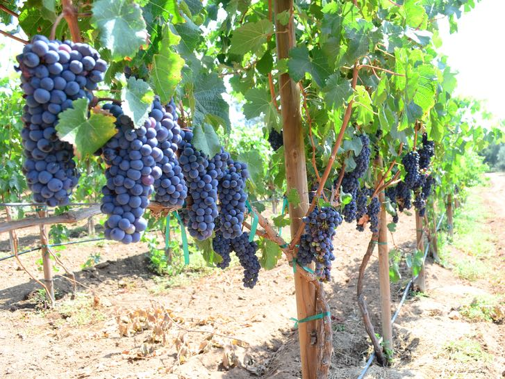 Grapes growing at Bernardo Winery for California Wine Month