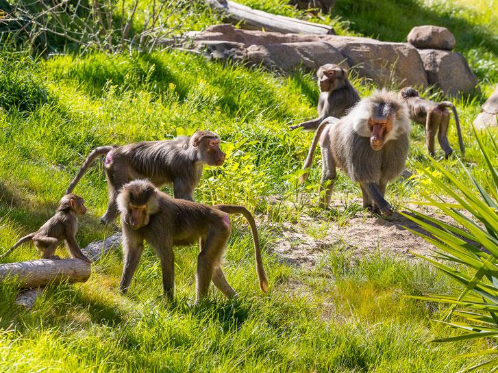 Monkeys at Africa Rocks exhibit.