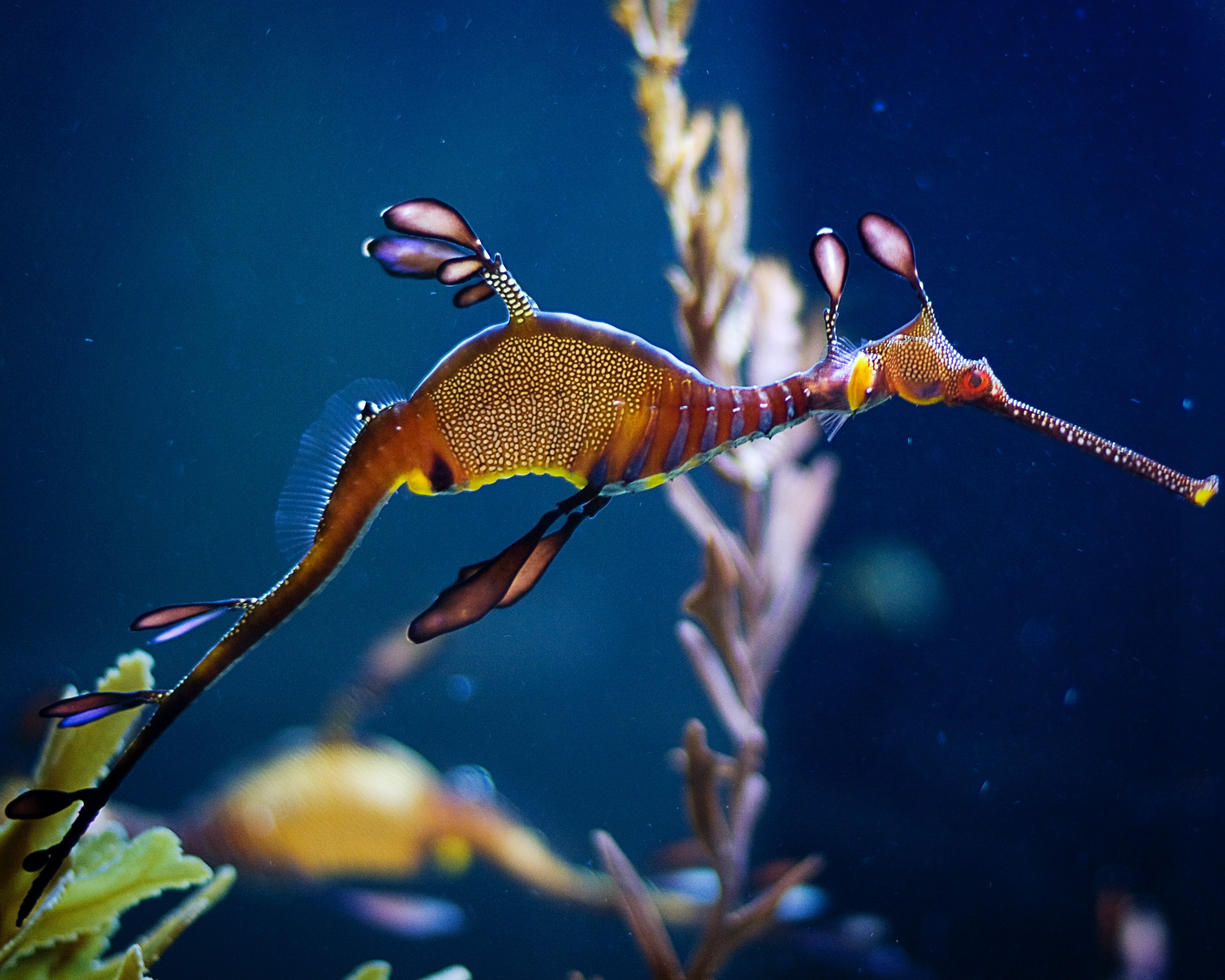 Seadragon at birch