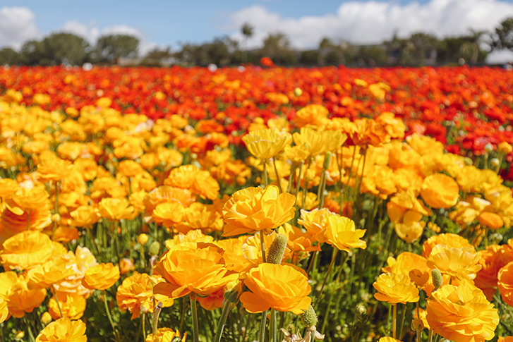 The Flower Fields at Carlsbad Ranchs San Diego