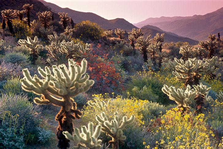 cacti at anza borrego desert