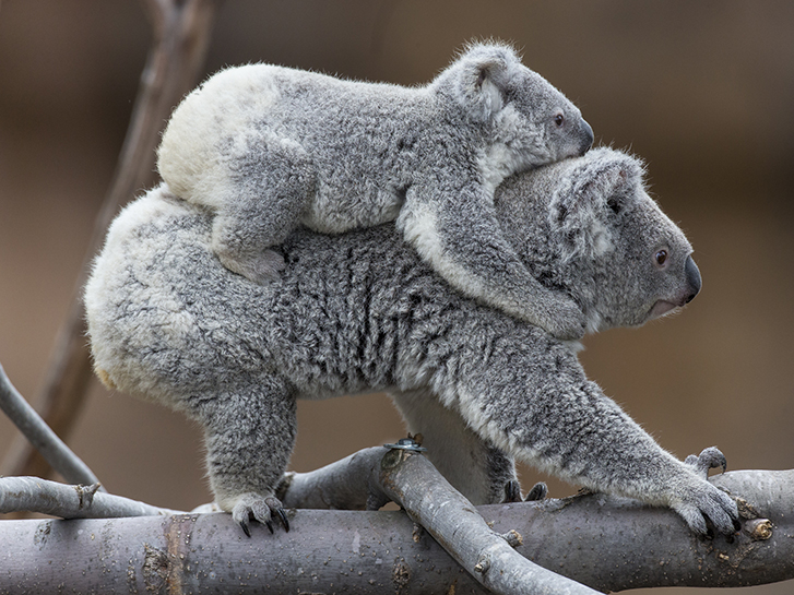 Koalas at the World-Famous San Diego Zoo