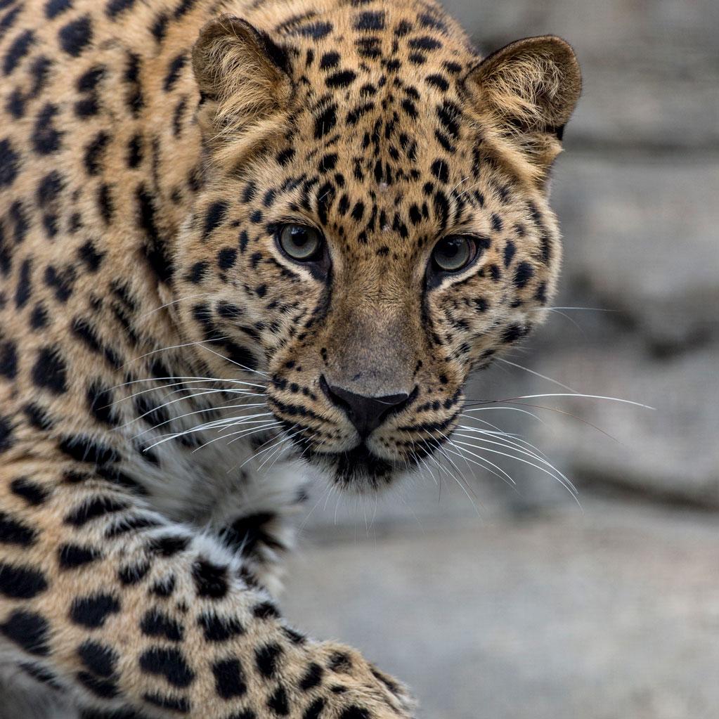 San Diego Zoo - Amur Leopard