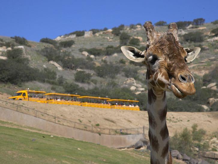Giraffe at the San Diego Zoo Safari Park