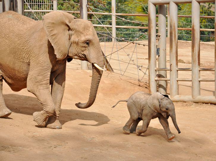 Elephants at the San Diego Zoo Safari Park
