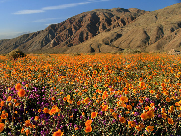 Orange flowers blooming in the Anza Borrego Desert