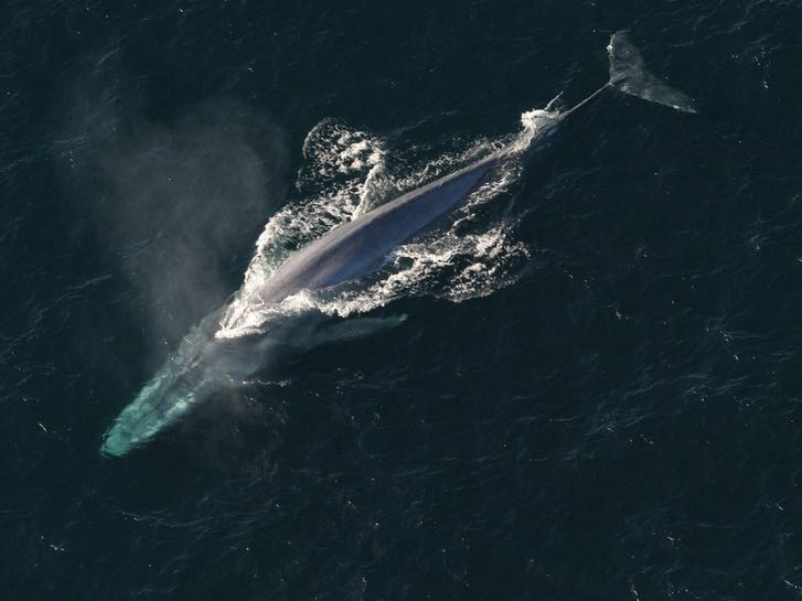 Summer Blue Whale Watching in San Diego